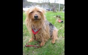 Hunden vår Senta (australsk terrier)