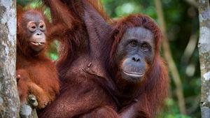 Orangutanger, regnskog eller sandstrand? Du velger!