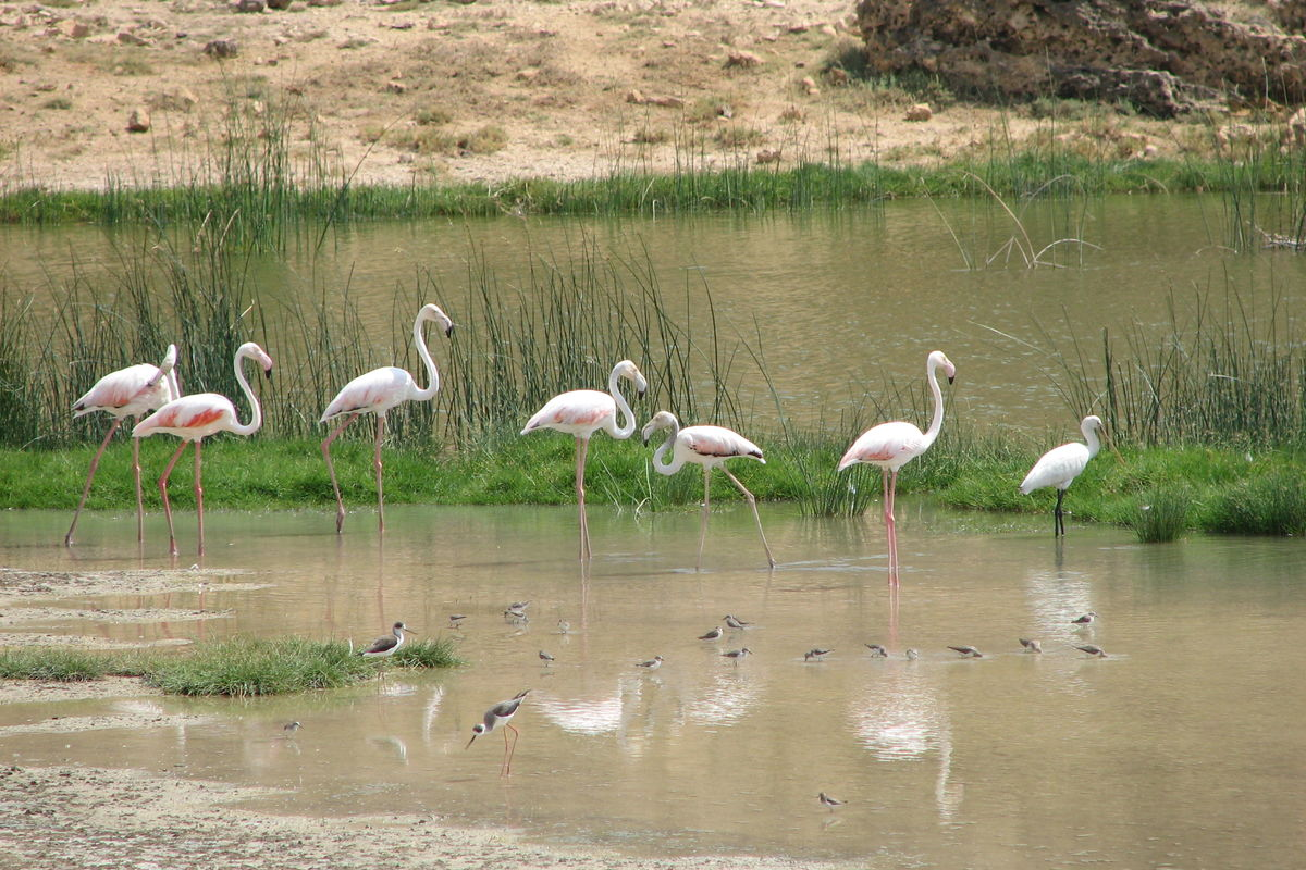 Flamingos vid lagun