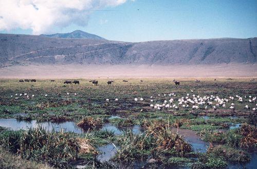 Ngorongoro - ibis och buffel