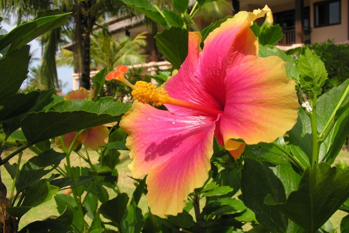 Tvåfärgad hibiskus