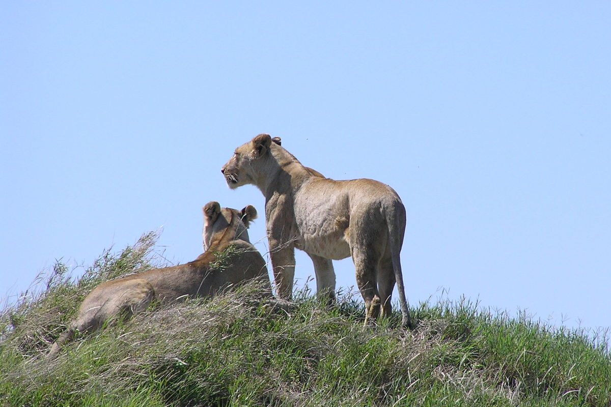 Lejon på kulle